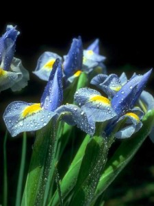 swept off your feet by irises